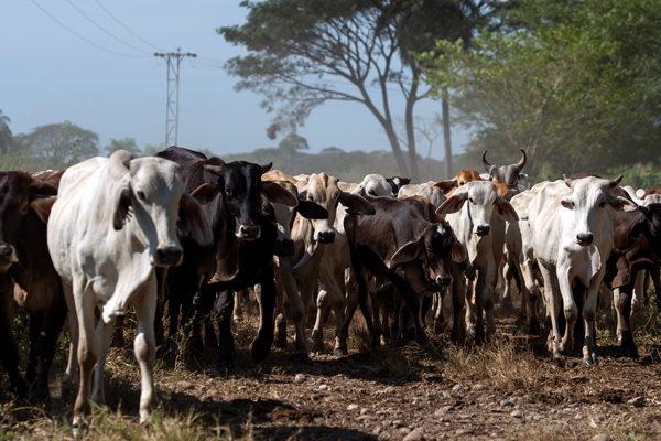 Falcón: Productores de Dabajuro pierden 24.000 litros de leche a la semana - junio 18, 2021 10:42 am - NOTIGUARO - Economia